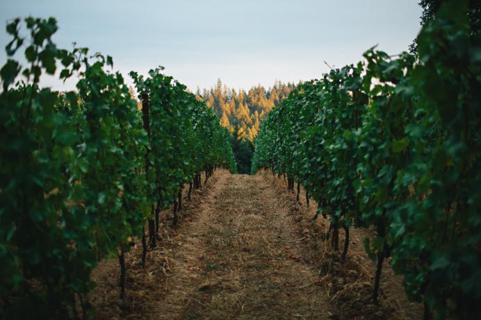 beauxfreres-vignes-pinotnoir-maisonsetdomaineshenriot