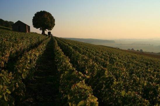 parcelle-cortoncharlemagne-cabotte-bouchardpereetfils-vignoble-bourgogne