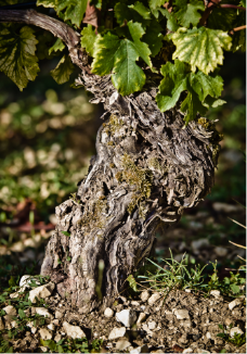 williamfevre-chablis-pieddevigne-terroir-maisonsetdomaineshenriot