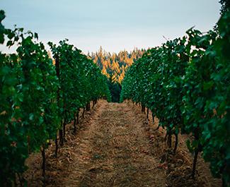 beauxfreres-oregon- pinotnoir-vignes-maisonsetdomaineshenriot
